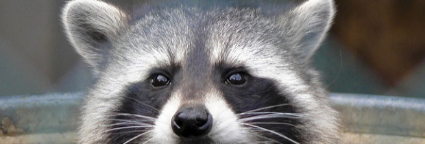 Introducing the Urban Super-Raccoon — Nimble, Quick and Getting Smarter Every Day