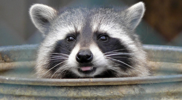 Introducing the Urban Super-Raccoon — Nimble, Quick and Getting Smarter Every Day (Slate)